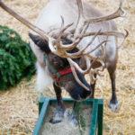 Reindeer at Watson's Nursery