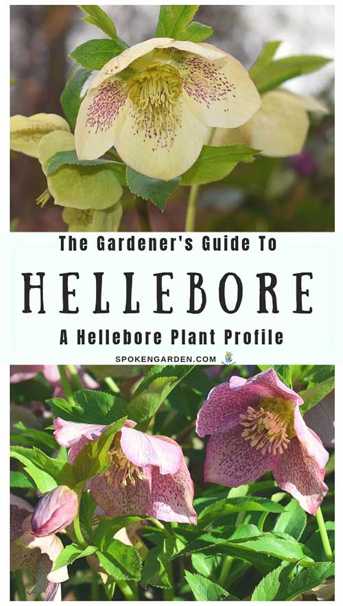 "A single cream-colored Hellebore and a trio of pink Hellebores as advertised in Spoken Garden's ""Hellebore Plant Profile."""