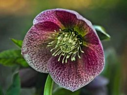 Hello, Hellebore! January Plant Profile of the Month