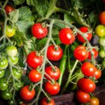 Sweet tomatoes on the vine.