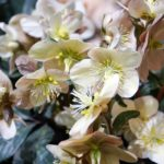Hellebores for sale at the Tacoma Home and Garden Show
