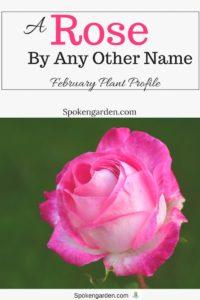 Roses, February Plant Profile- Spoken Garden