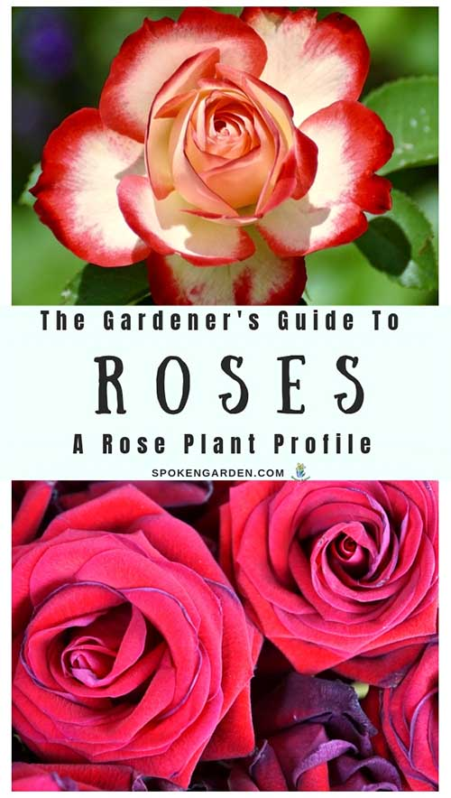 "A vibrant red and white single rose and a pair of reddish-pink colored roses are displayed on Spoken Garden's ""Rose Plant Profile"" post advertisement."