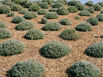 "A field of Lavender bushes covered with mulch in Spoken Garden's ""Benefits of Mulching"" post"