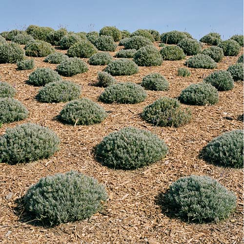 """A field of Lavender bushes covered with mulch in Spoken Garden's """"Benefits of Mulching"""" post"""