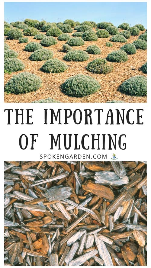 Lavender surrounded by mulch and wood mulch with text overlay in Spoken Garden's post advertisement