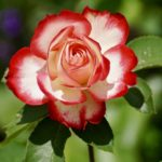 February Plant Profile: The Rose