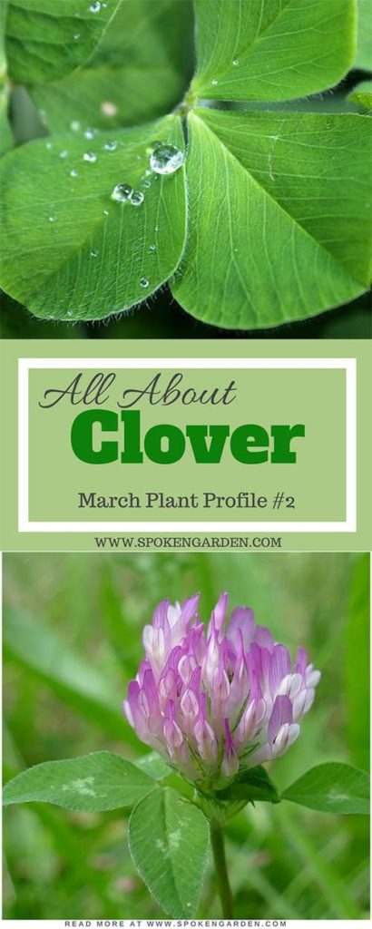 "4-leaf clover and a red clover in a field as advertised in Spoken Garden's ""Clover Plant Profile"""