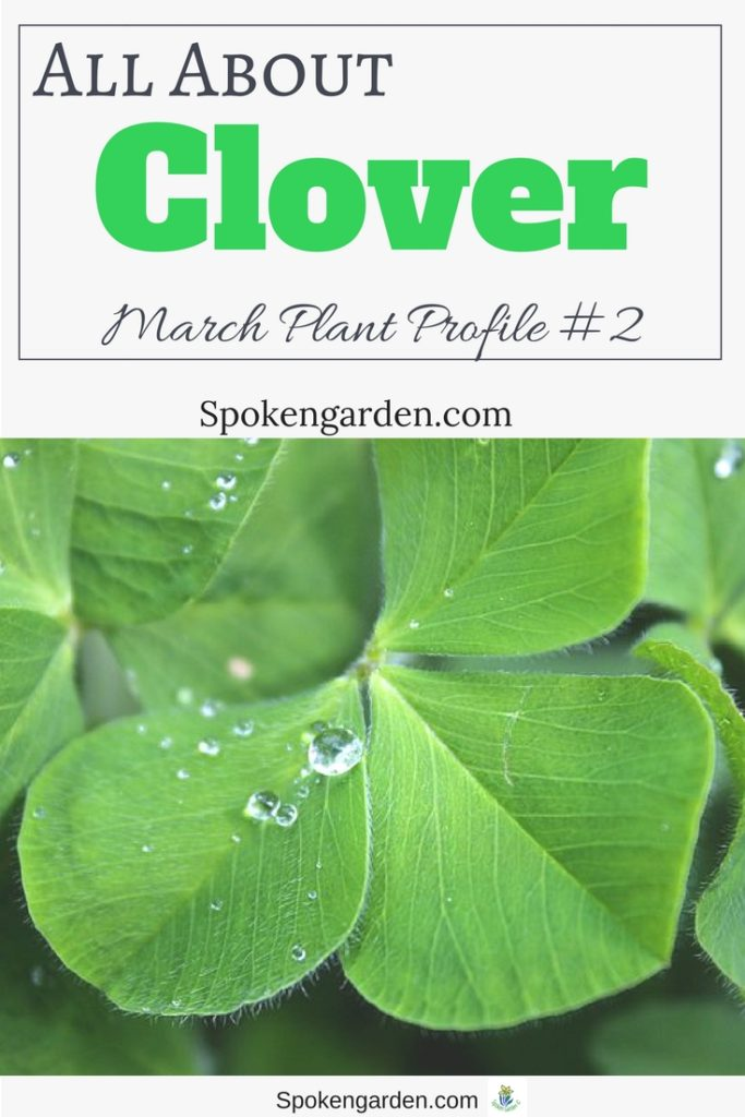 A 4-leaf clover with drops of water on it on an advertisement for Spoken Garden's Clover plant profile.