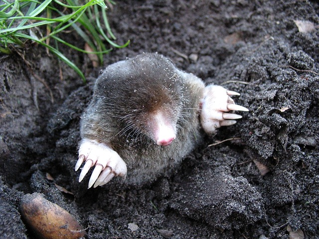 Mole pushing up through dirt in Spoken Garden's post