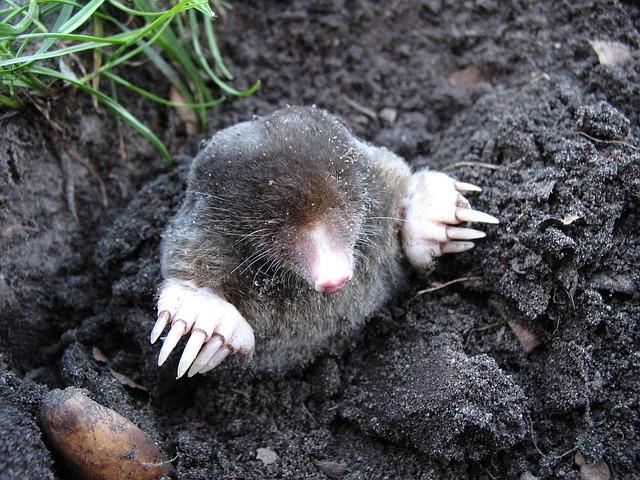 Mole pushing up through dirt in Spoken Garden's post