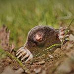 Mole, the garden pest extraordinaire-Spoken Garden