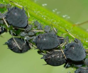 Aphids, an insect garden pest. Learn about natural pest remedies at spokengarden.com