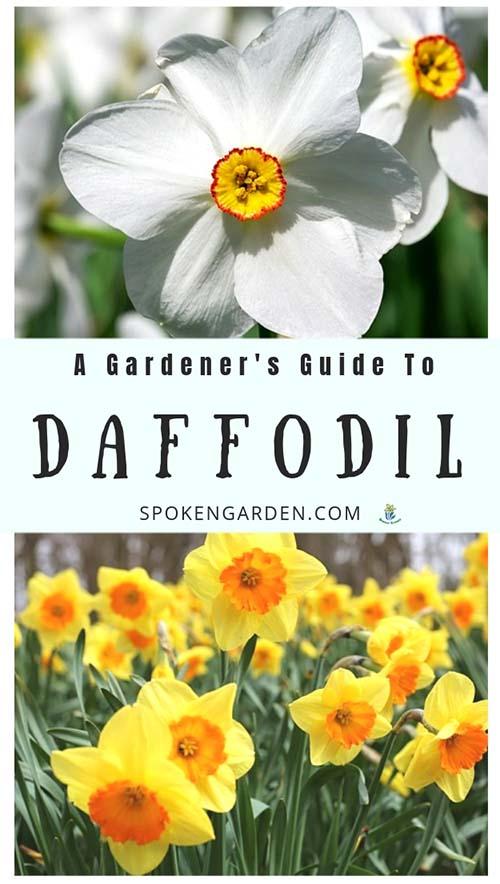 Daffodil plants are featured in Spoken Garden's Daffodil plant profile