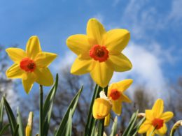 Daffodils: A Gardener's Guide and Plant Profile