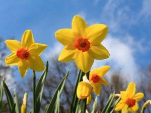The Divine Daffodil: March Plant Profile, Spoken Garden