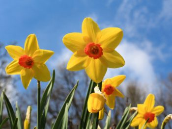 The Divine Daffodil: March Plant Profile, Spoken Garden