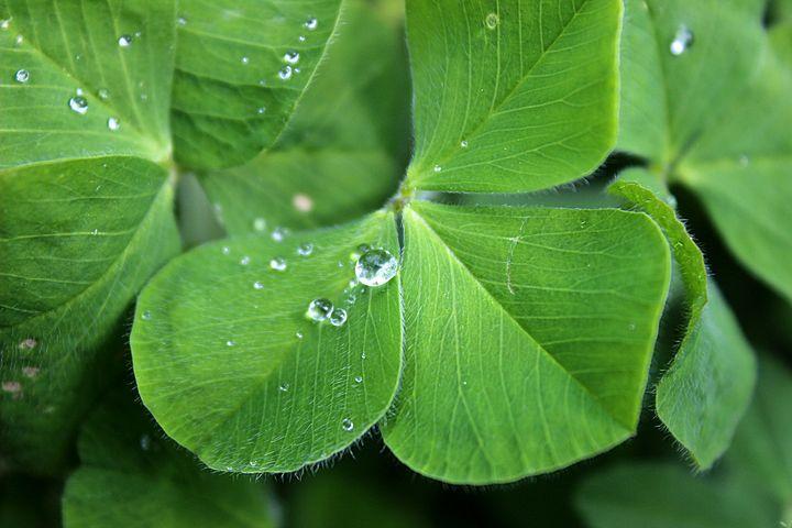 Clover plant is profiled in Spoken Garden's post