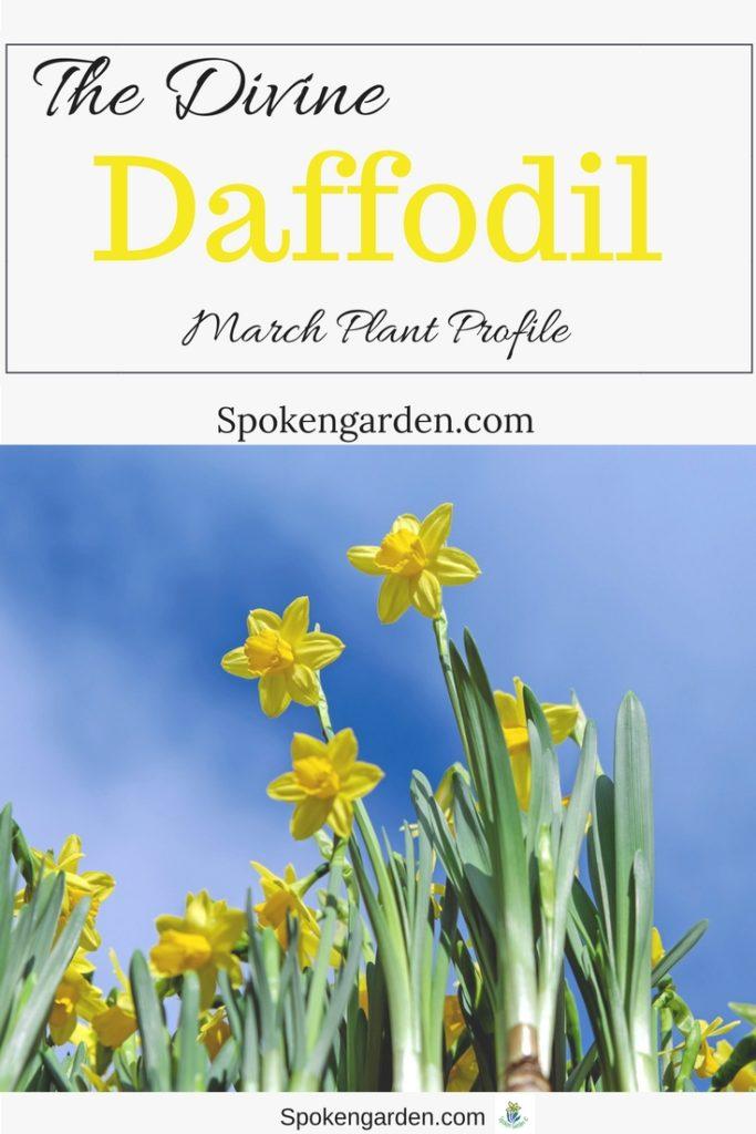 The Divine Daffodil: March Plant Profile