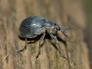Root Weevils are garden pests. Manage them using natural methods that won't hurt the environment.