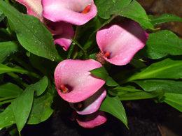 Calla Lily: A Gardener's Guide and Plant Profile