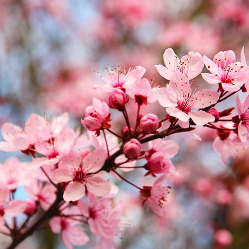 beautiful, pink spring garden blooms on a cherry tree