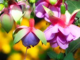Fuchsia Hanging Basket: A Gardeners' Guide and Plant Profile