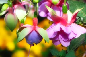 The Ultimate Guide to the Fantastic Fuchsia