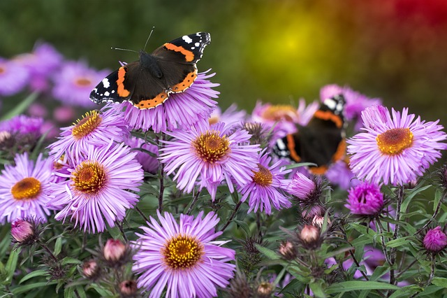 "Garden pollinators landing on purple asters in Spoken Garden's Ep. 14 ""pollinators and Their Favorite Flowers"""