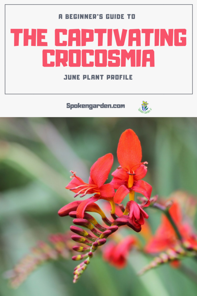 A beautiful, red Crocosmia plant is blooming. Crocosmia plant profile