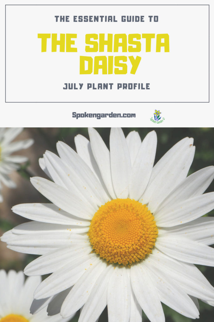 A beautiful Shasta Daisy with white petals and a bright, yellow center is advertised in Spoken Garden's Shasta Daisy plant profile.