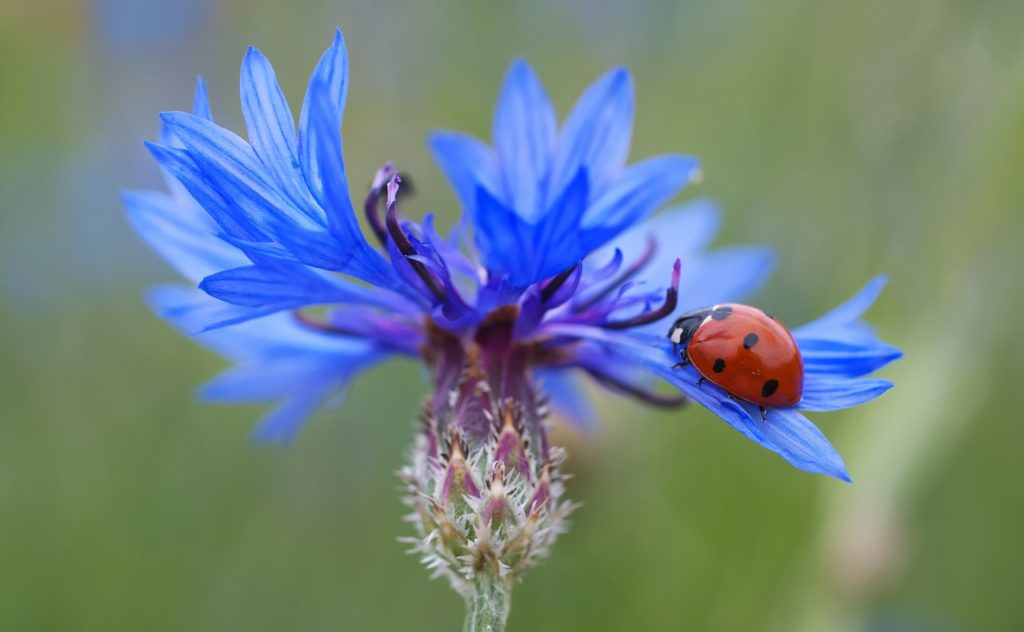 A Ladybug is a type of beetle and on our top 5 best pollinators list. They are not only pollinators but vicious predators of many garden pests, including aphids. Read more about our top 5 best pollinators on our post.