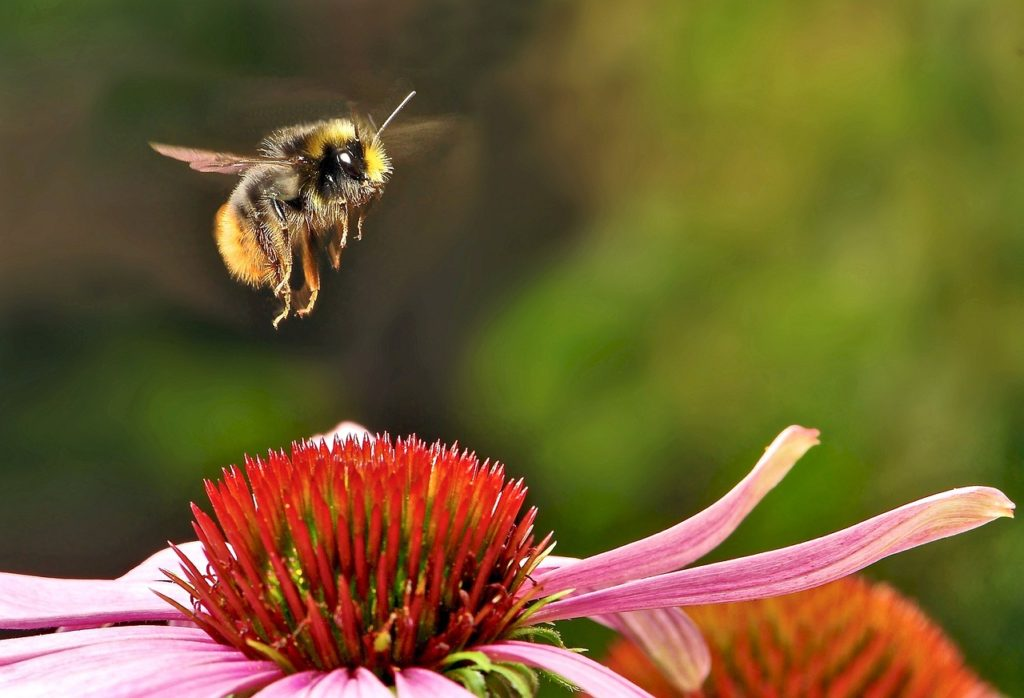 A bumblebee is considered one of our top 5 best pollinators for so many reasons.
