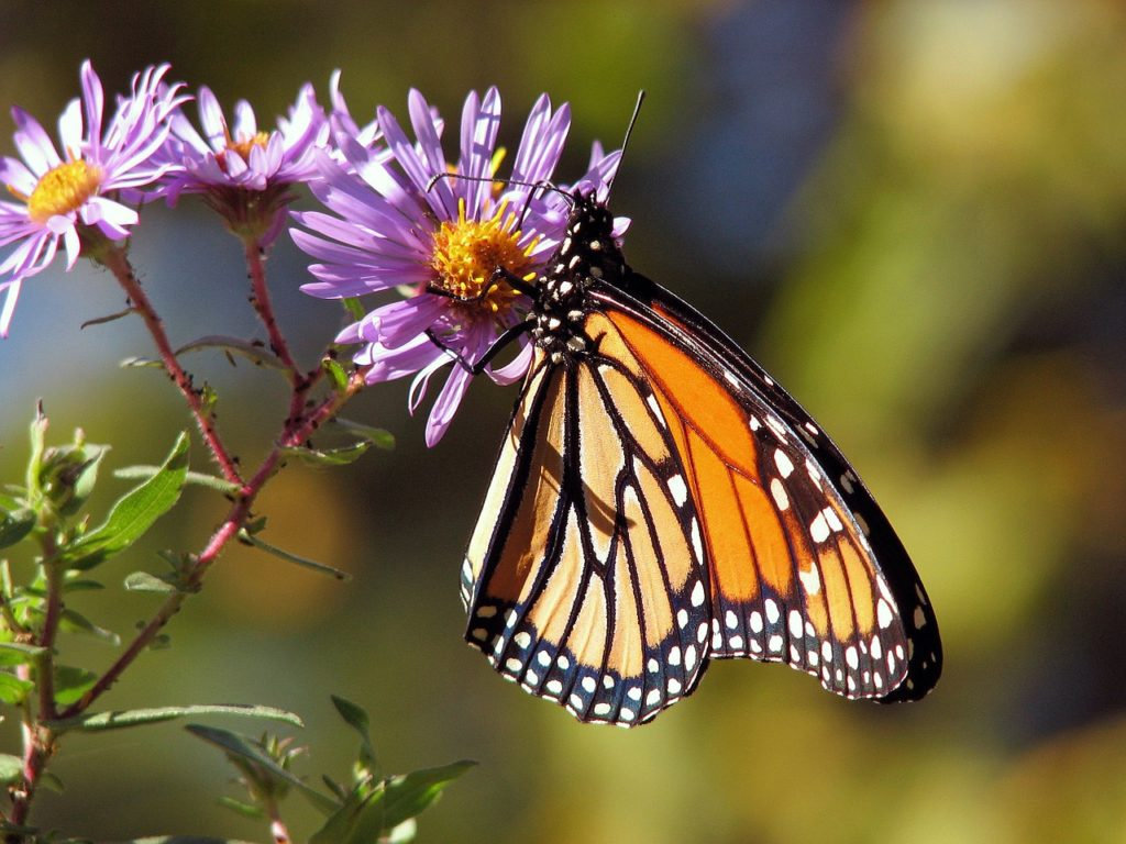 A butterfly is on our top 5 best pollinators list due to their beauty and the large distances they can cover.