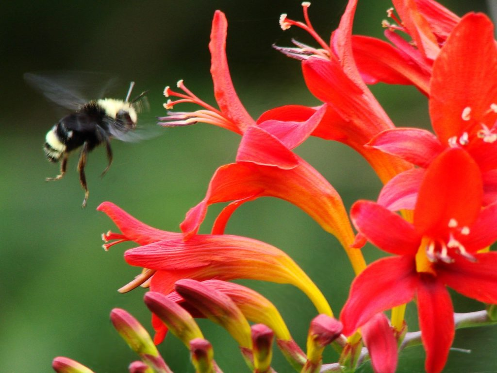 A bumblebee flies into a Crocosmia blossom to feed off its nectar in our Crocosmia plant profile.