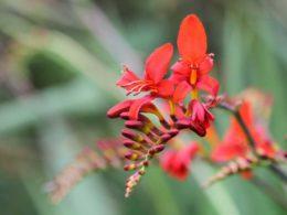 Crocosmia: A Gardener's Guide and Plant Profile