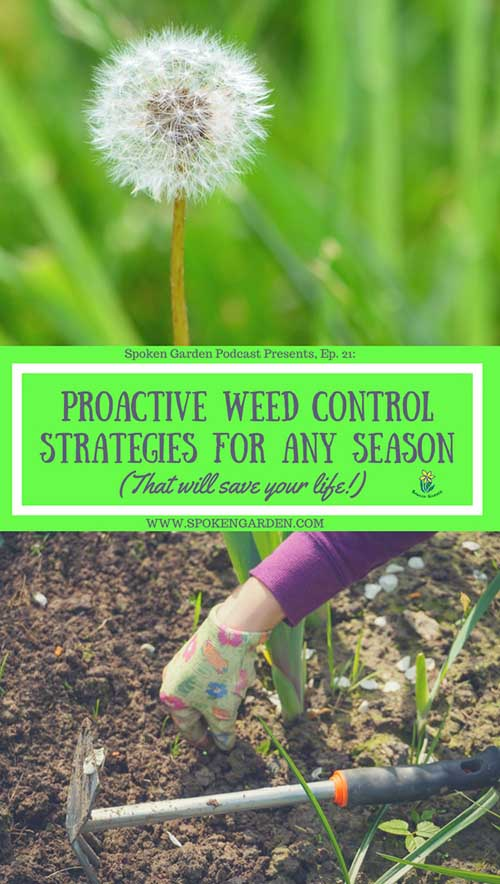 A single dandelion weed that has gone to seed and a woman weeding as part of our proactice weed control strategies for your garden.