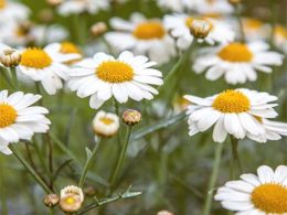 Shasta Daisy: A Gardener's Guide and Plant Profile