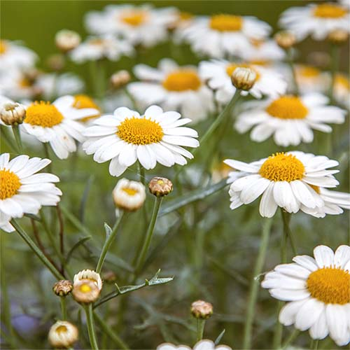 Group of wild Shasta Daisies in a field