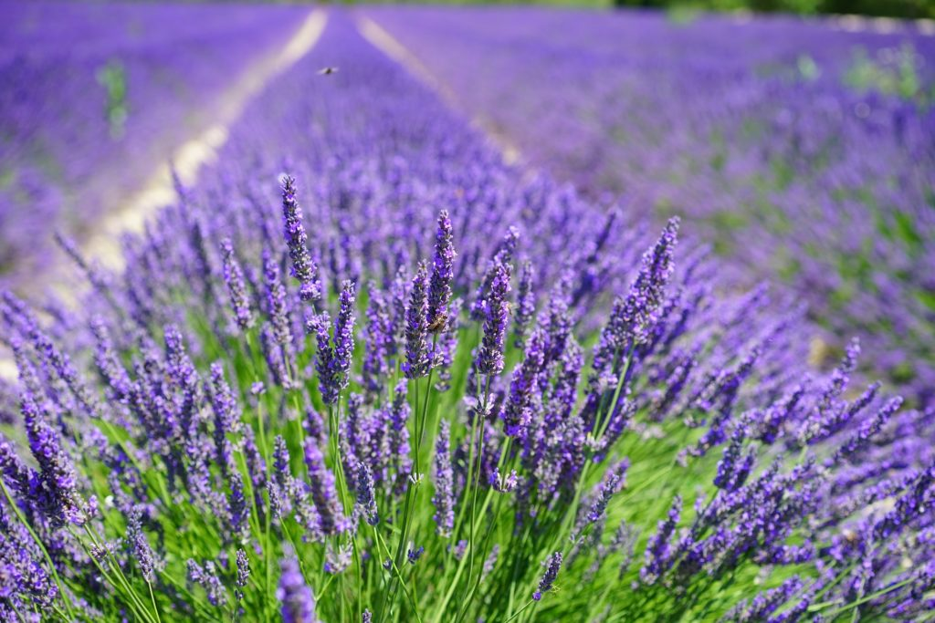 Add lavender around your yard for an instant herbal garden that invites pollinators to your outdoor entertaining area.