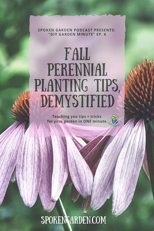 Two purple coneflowers that are examples of fall perennials