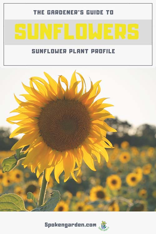 A large sunflower in the foreground with a field of sunflowers in the background in the advertisement for Spoken Garden's Sunflower plant profile post.