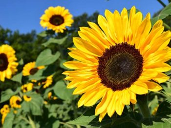 A group of large, yellow sunflowers in a field in our sunflower Plant Profile