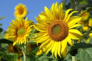 A large, yellow sunflower in front of a field of sunflowers are the highlight of this sunflower plant profile.