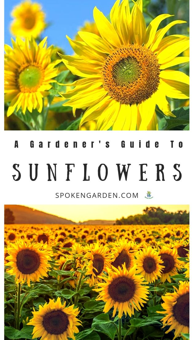 Sunflowers with text overlay advertised in Spoken Garden's plant profile post.