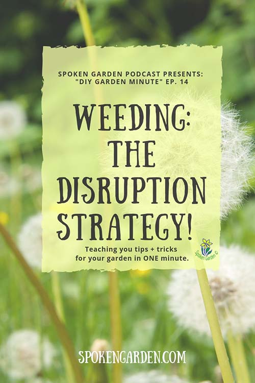 A field of dandelion weeds that have gone to seed in Spoken Garden's podcast advertisement for a weeding strategy