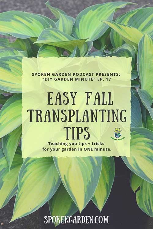 "A beautiful green and yellow hosta in a garden bed as advertised in Spoken Garden's DIY Garden Minute ""Easy Fall Transplanting Tips"" podcast advertisement"