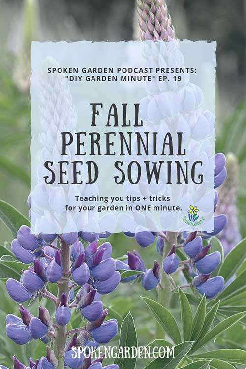 "2 blue lupine flowers in a field in Spoken Garden's ""Fall Perennial Seed Sowing"" podcast advertisement"