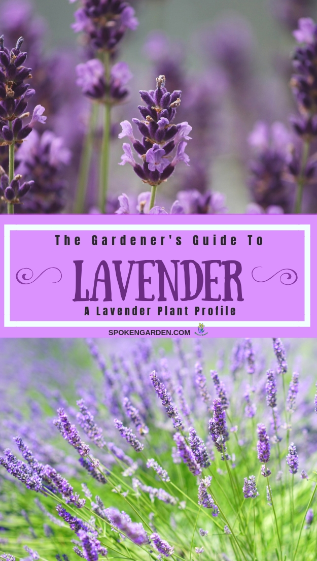 Lavender with text overlay in Spoken Garden's post advertisement