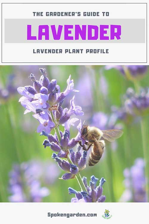 "A single, purple, spiky lavender flower with a honey bee on it in front of a field of lavender in Spoken Garden's ""Lavender plant profile"" advertisement."